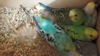 Птенцы волнистых попугаев готовы покинуть гнездо