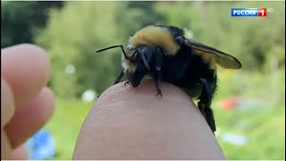Укус пчелы или осы. Первая помощь, аллергия