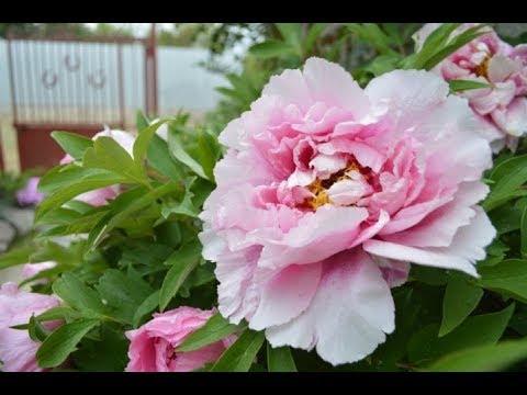 Советы эксперта! Как выращивать пионы, чтобы они долго радовали благоухающими цветами