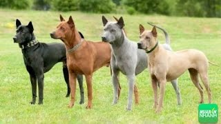 4 giống chó quý và hiềm nhất Việt Nam  - Quôc khuyển