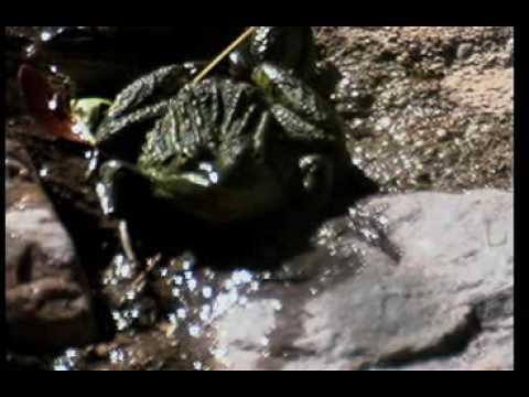 American Bullfrog (Rana cate..
