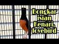 Murai Batu Medan Isian Kenari Lovebird Ngekek  Mp3 - Mp4 Download