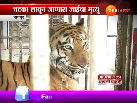 Nagpur Special Report On Jaai Tigress At Maharajbagh Zoo Dies After Battling For Life