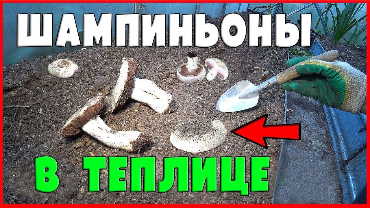 ШАМПИНЬОНЫ В ТЕПЛИЦЕ!