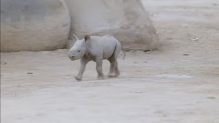 Cute endangered black rhino baby is newest resident at San Diego Zoo