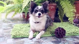 Вопрос Ответ Жизнь собаки в Таиланде | Чихуахуа Софи