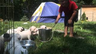 American Bulldog Puppies Temperament Exercise