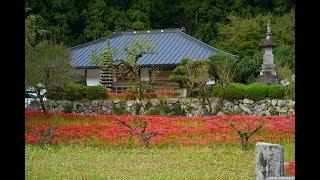 JG 4K 栃木 常楽寺 ヒガンバナとソバの花  Tochigi,Flowers at Jorakuji