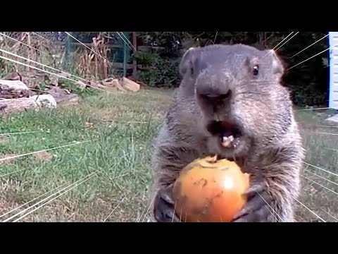 Chunk The Groundhog Steals Food On Camera | All Good