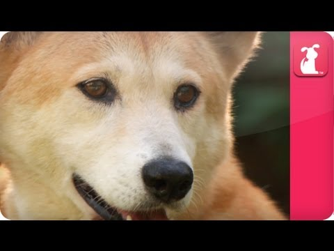 Bindi & Robert Irwin feature  Dingos  Mia Growing Up Wild.