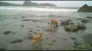 Golden Retriever And Portuguese Podengo At The Beach In Brookings Oregon