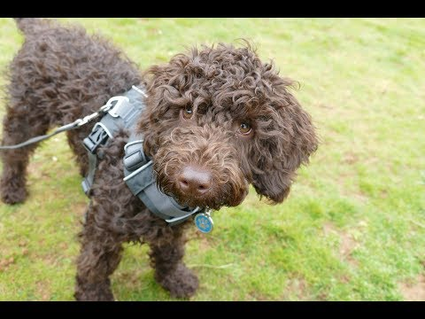Roland - 18 Week Old Mini Goldendoodle Puppy - 3 Weeks Residential Dog Training