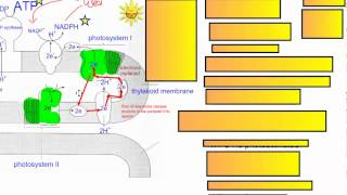 Photosynthesis Part 3   Cyclic Photophosphorylation IB Biology