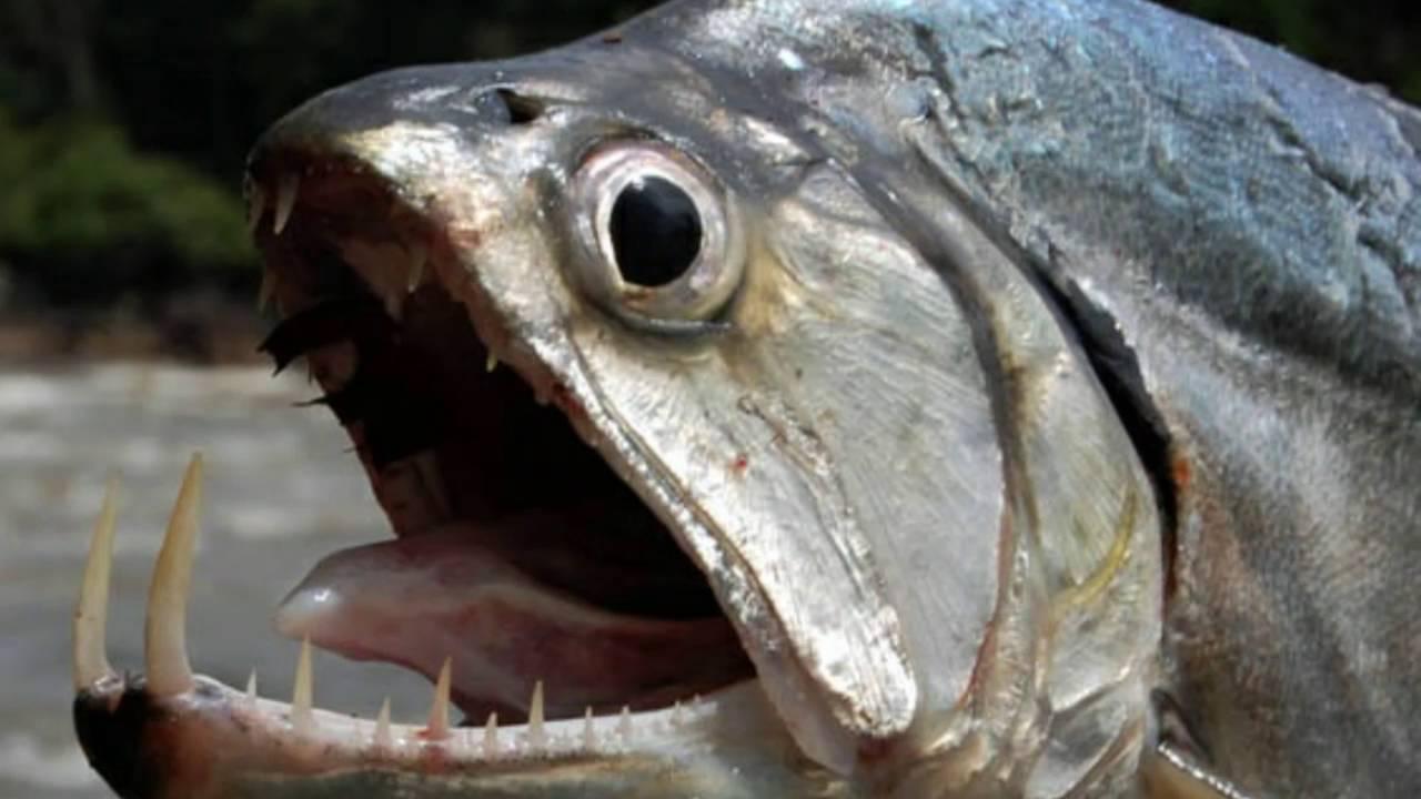 Los 5 peces de agua dulce mas temidos del mundo youtube for Peces agua dulce