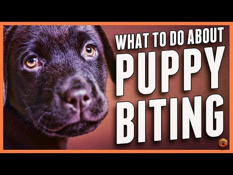 Puppy Biting? Learn Bite Inhibition Training!