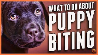 Puppy Biting? Learn Bite Inhibition Training!