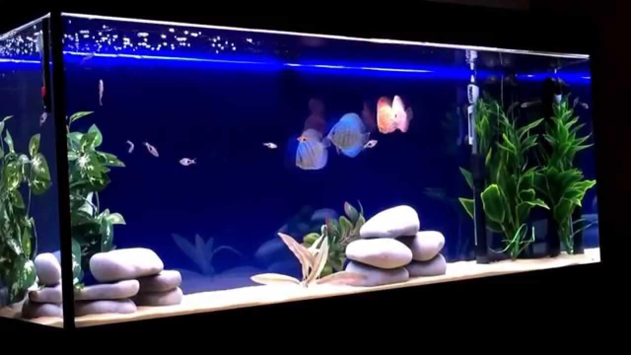 Freshwater aquarium fish rasbora - New Aquaruim With 4 New Discus And 11 Harlequin Rasbora Fish Thumbs Up Or Down