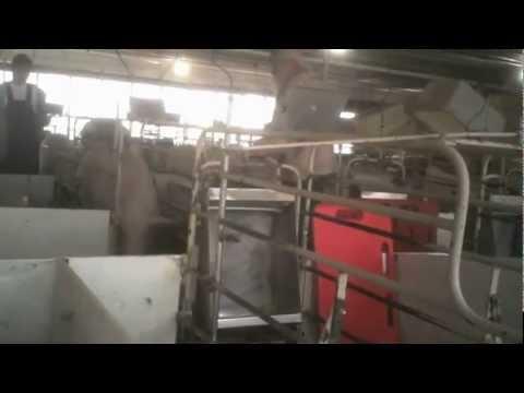 Shocking-Animal-Cruelty-at-Tyson-Foods-Supplier