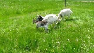 Kozy i capek na łące