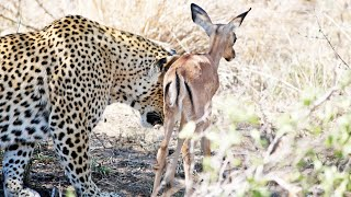 When the Leopard Lies Down With the (Impala) Lamb