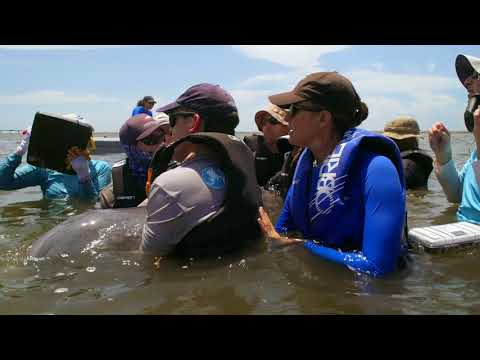 The Dolphins of Barataria Bay - Part 2 (Gulf Dispatches)