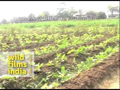 Unseasonal rain threatens to damage rabi crops of farmers