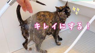 暑くなったのでサビ猫モモちゃんのシャンプーします!