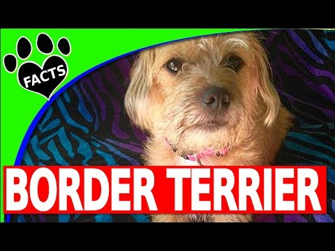 Border Terriers Dogs 101 (Starring Maisy the Border Terrier) - Animal Facts