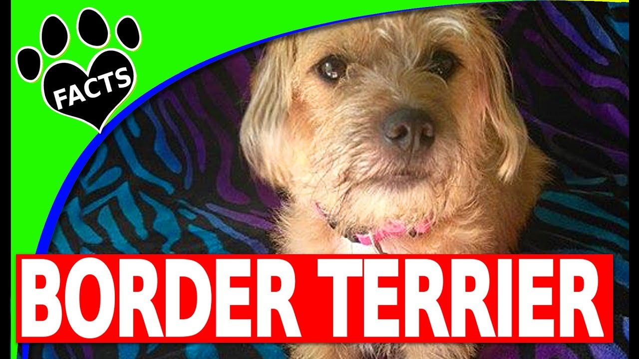 Dogs 101: Border Terriers (Starring Maisy the Border Terrier) - Animal Facts