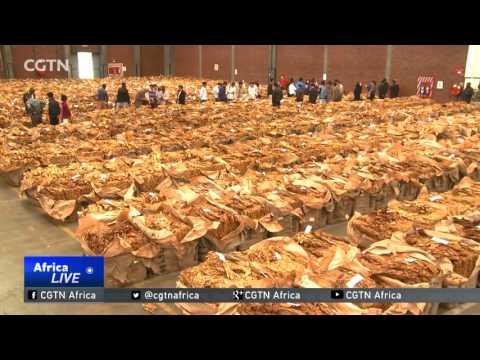 Zimbabwean tobacco farmers reap big from sales boom