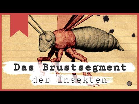 Das Brustsegment - Was ist ein Insekt? - Teil 2