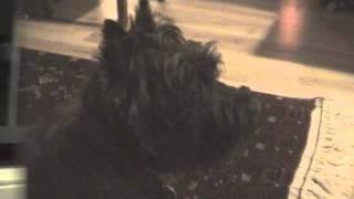 Talking Cairn Terrier Iii