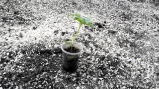 Как рано можно выносить рассаду в теплицу из поликарбоната(Простой опыт., 2016-04-10T00:47:41.000Z)