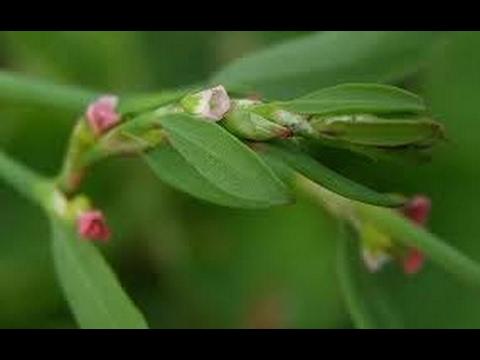 Спорыш - лечебные свойства травы и ее противопоказания