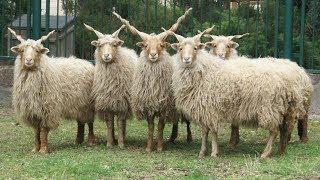 Racka Sheep | Medieval Horns MultiPurpose