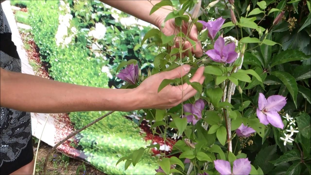 Выращивание клематисов в саду 1