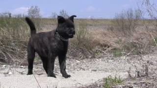 甲斐犬 KAIKEN ナナ♀ 2.5才 ロク♂ 2.5ヶ月.