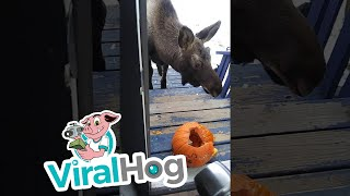 Moose Munches Pumpkin on Doorstep || ViralHog