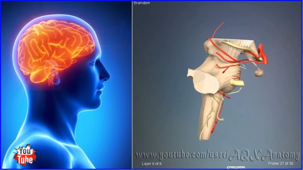 Brainstem | 3D Human Anatomy | Organs - YouTube