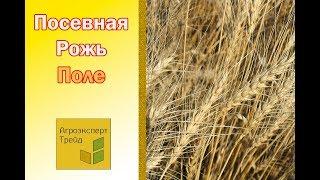 Рожь Жито  Сорт Сиверское