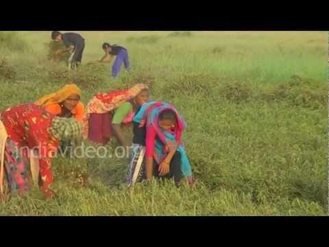 Groundnut Farm near Jamnagar, Gujarat