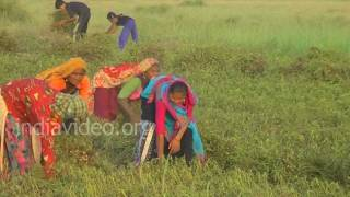 Groundnut Farm  Jamnagar  Gujarat