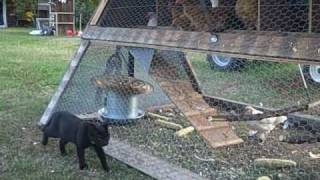The Best Chicken Tractor.