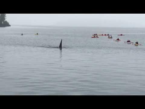Orka swimming under the boat near Telegraph cove, Canada