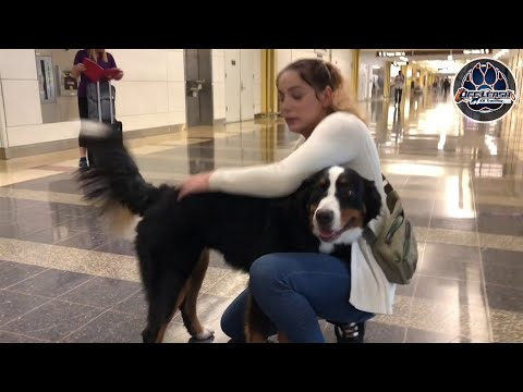 Riley Bernese Mountain dog! |Best dog trainers VA| E-collar training| Obedience training
