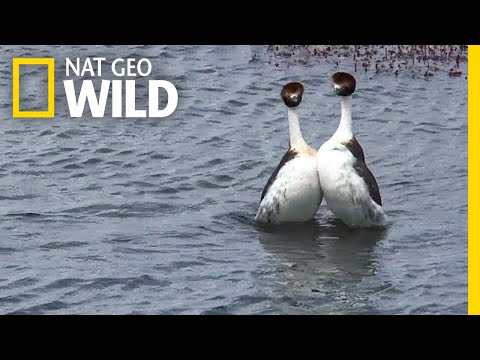 These Birds Have a Sexy but Bizarre Dance Routine | Nat Geo Wild