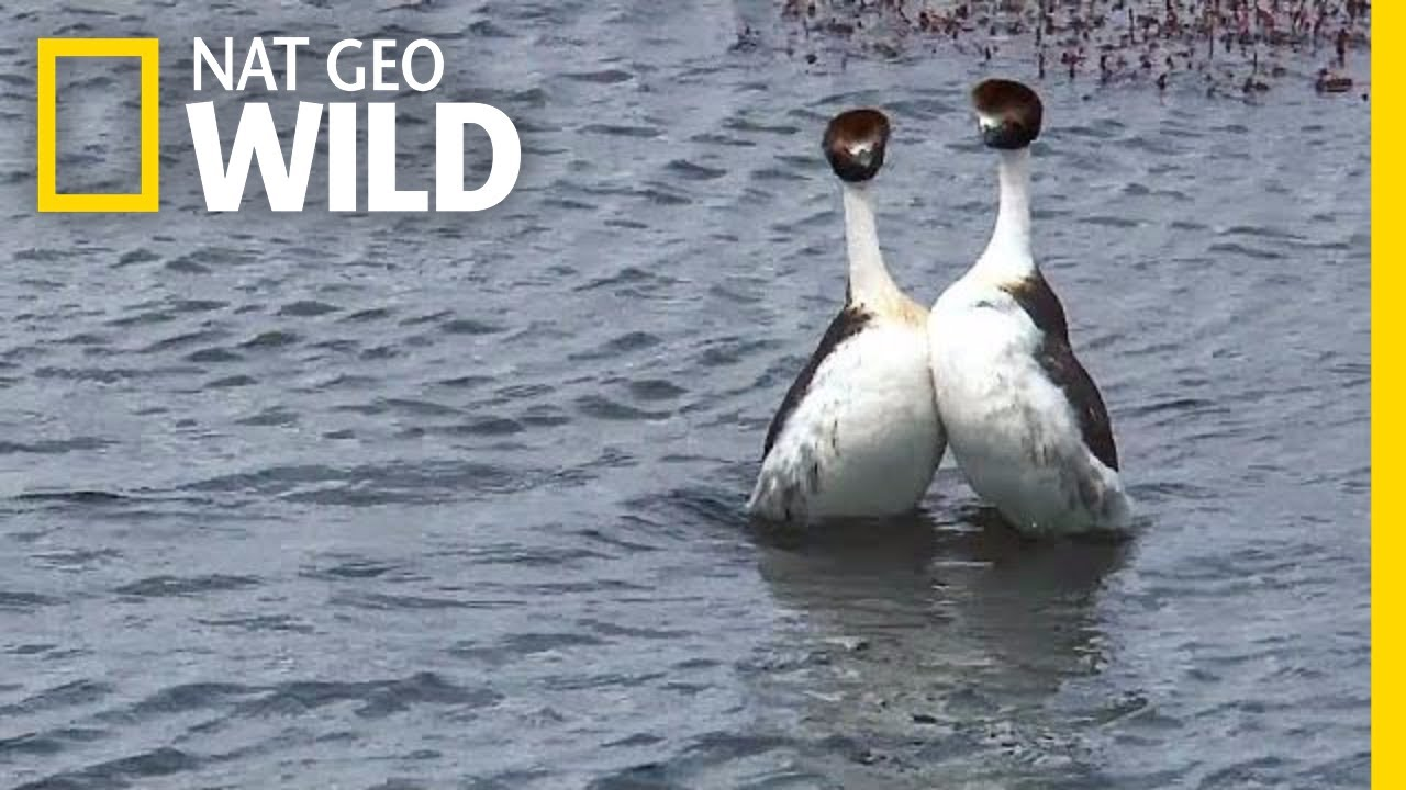 These Birds Have a Sexy but Bizarre Dance Routine   Nat Geo Wild
