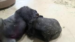 父シャバーニと息子キヨマサの遊ぶ様子です。 Father Shabani and his s...