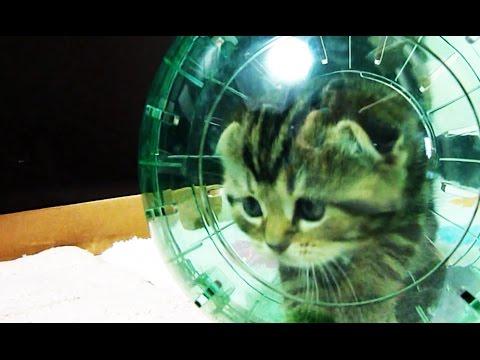 Thumbnail for Cat Video Kitten in a Hamster Ball
