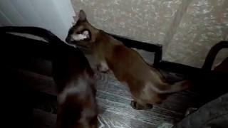 тонкинский котик Пеле